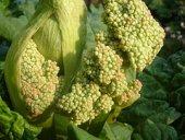 rhubarb allergy