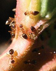Pests on Rhubarb Plants