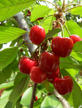 cluster of cherries