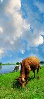 Cow Manure Fertilizes Rhubarb Well