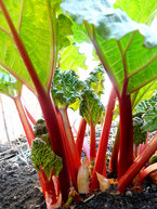 Rhubarb plants produce better<br>without the flower stalk