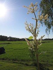 rhubarb tree